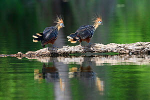 Hoatzin (Opisthocomus hoazin), pair on floating log in Cocha Salvador ox-bow lake. Manu Biosphere Reserve, Peru. - Nick Garbutt