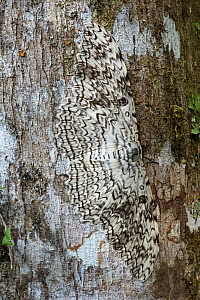 White witch moth (Thysania agrippina) camouflaged against bark of tree. Manu Biosphere Reserve, Amazonia, Peru.  -  Nick Garbutt