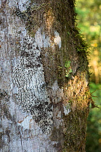 White witch moth (Thysania agrippina) camouflaged against tree trunk. Manu Biosphere Reserve, Amazonia, Peru. - Nick Garbutt