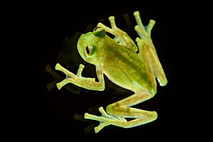 Bell glass frog (Cochranella nola) photographed from above on pane of glass. Manu Biosphere Reserve, Peru.  -  Nick Garbutt