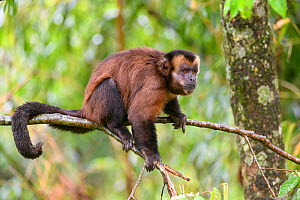 RF - Male tufted / Brown capuchin (Cebus apella) sitting in tree, mid-altitude montane forest, Manu Biosphere Reserve, Peru. (This image may be licensed either as rights managed or royalty free.) - Nick Garbutt