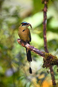 Highland motmot (Momotus aequatorialis), male in tree with caterpillar in beak about to return to nest. Manu Biosphere Reserve, Peru. - Nick Garbutt