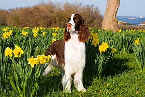 English springer spaniel amongst Daffodils (Narcissus sp). Waterford, Connecticut, USA. April.  -  Lynn M. Stone