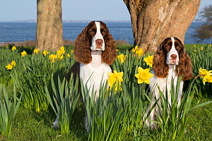 English springer spaniel, two amongst Daffodils (Narcissus sp). Waterford, Connecticut, USA. April.  -  Lynn M. Stone