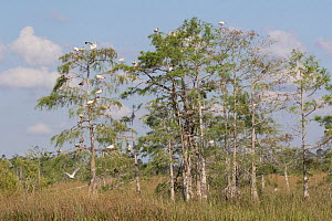 Bald cypress (Taxodium distichum) trees, predominantly White ibis (Eudocimus albus) perching in branches and Snowy egret (Egretta thula) in flight. Everglades National Park, Florida, USA. April 2018. - Lynn M. Stone