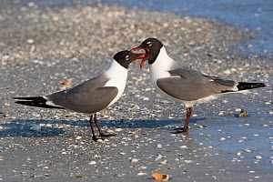 Laughing gull (Leucophaeus atricilla) pair bill-touching in courtship, Tampa Bay, Tierra Verde, Florida.  -  Lynn M. Stone