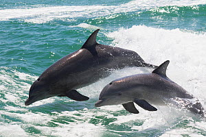 Common / Atlantic bottle-nosed dolphin (Tursiops truncatus), adult and juvenile leaping out of water. Clearwater Beach, Pinellas County, Florida, USA.  -  Lynn M. Stone
