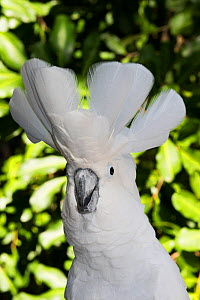 Umbrella cockatoo (Cacatua alba), portrait. Captive. - Lynn M. Stone