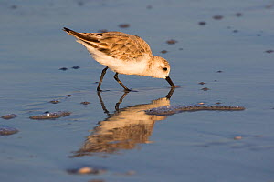 Sanderling (Calidris alba) foraging on beach. Indian Shores, Pinellas County, Florida, USA.  -  Lynn M. Stone