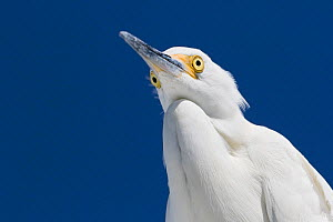 Snowy egret (Egretta thula) portrait, viewed from below. St. Petersburg, Florida, USA.  -  Lynn M. Stone