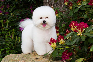 Bichon frise standing on rock amongst Rhododendron flowers. Haddam, Connecticut, USA. May. - Lynn M. Stone