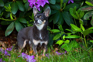 Chihuahua with Rhododendron leaves in background. Haddam, Connecticut, USA. May.  -  Lynn M. Stone