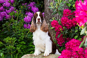 English springer spaniel, standing with front legs on rock, Rhododendron flowers in background. Haddam, Connecticut, USA. June.  -  Lynn M. Stone