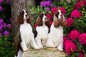 English springer spaniel, three standing with front legs on rock, Rhododendron flowers in background. Haddam, Connecticut, USA. June. - Lynn M. Stone