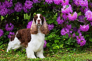 English springer spaniel standing in front of Rhododendron flowers. Haddam, Connecticut, USA. June.  -  Lynn M. Stone