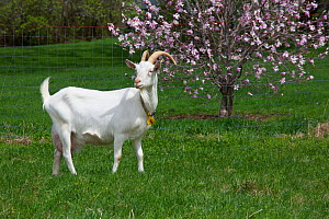 Saanen dairy goat on pasture with blossoming tree in background. Norfolk, Litchfield County, Connecticut, USA. May.  -  Lynn M. Stone