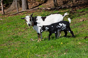 Nigerian dwarf goat, doe with kid on spring pasture. Vernon, Tolland County, Connecticut, USA. May.  -  Lynn M. Stone