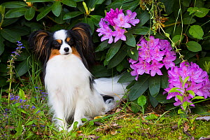 Papillon sitting beside Rhododendron flowers. Haddam, Connecticut, USA. May.  -  Lynn M. Stone