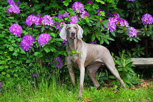 Weimaraner in front of Rhododendron flowers, Haddam, Connecticut, USA. May.  -  Lynn M. Stone