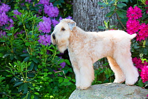 Soft-coated wheaten terrier standing on rock with Rhododendron in background. Haddam, Connecticut, USA. June.  -  Lynn M. Stone