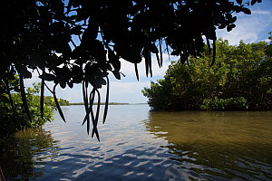 Red mangrove (Rhizophora mangle) tree seedpods and saltwater slough, Tampa Bay, Pinellas County, Florida, USA. July  -  Lynn M. Stone