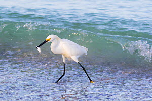 Snowy egret (Egretta thula) fishing at water's edge. Tierra Verde, Pinellas County, Florida, USA.  -  Lynn M. Stone
