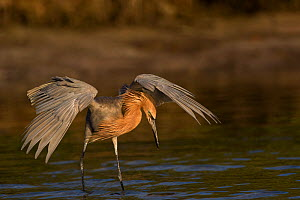 Reddish egret (Egretta rufescens) in non-breeding plumage, hunting minnows with wings in partial umbrella. Saltwater lagoon, Tierra Verde, Pinellas County, Florida, USA.  -  Lynn M. Stone