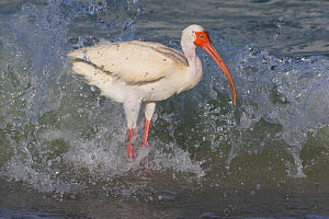 White Ibis (Eudocimus albus) hunting for Mole crabs (Emerita sp) along shore of Gulf of Mexico. Tierra Verde, Pinellas County, Florida, USA.  -  Lynn M. Stone