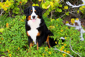 Bernese mountain dog, male sitting amongst flowers in dune, Tampa Bay, Florida, USA.  -  Lynn M. Stone