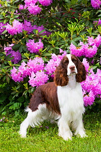 English springer spaniel in Rhododendron. Haddam, Middlesex, Connecticut, USA.  -  Lynn M. Stone