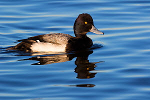 Lesser scaup (Alythya affinis) drake, wintering on Eastern Shore, Chesapeake Bay, Cambridge, Maryland, USA. February. - Lynn M. Stone