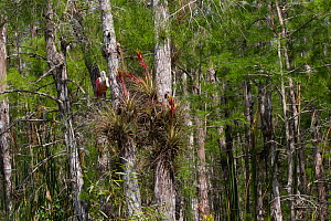Roseate spoonbill (Platalea ajaja) perched in Bald cypress tree (Taxodium distichum) with flowering Cardinal air plant (Tillandsia fasciculata). Big Cypress Swamp National Preserve, Florida, USA. - Lynn M. Stone