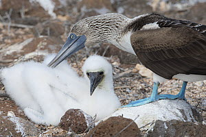 Blue-footed booby (Sula nebouxii) adult and chick at nest. North Seymour Island, Galapagos, Ecuador.  -  Jeff Vanuga
