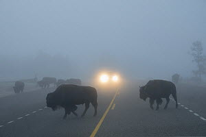 Bison (Bison bison) crossing road in heavy fog, with car headlights in background, Fountain Flats, Yellowstone National Park, Wyoming. September 2017. - Jeff Vanuga
