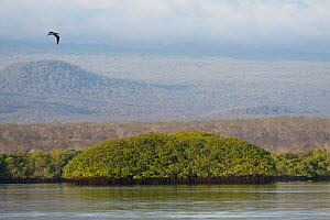Red mangroves (Rhizophora mangle), Black Turtle Cove, Santa Cruz Island, Galapagos Islands, Ecuador. June 2018. - Jeff Vanuga