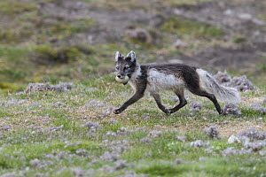 Arctic fox (Vulpes lagopus) running with Common eider duck (Somateria mollissima) egg in mouth. Svalbard, Norway. June. - Jeff Vanuga