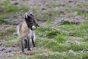 Arctic fox (Vulpes lagopus) standing with Common eider (Somateria mollissima) egg in mouth. Svalbard, Norway. June. - Jeff Vanuga