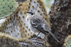 Galapagos mockingbird (Mimus parvulus) perched on cactus. Santa Cruz Island, Galapagos Islands, Ecuador.  -  Jeff Vanuga