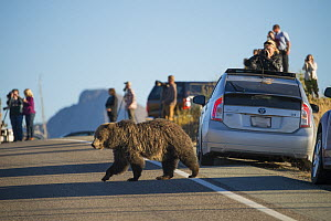 Grizzly bear (Ursus arctos horribilis) crossing road, causing traffic jam. Tourists photographing and observing in background. Yellowstone National Park, Wyoming, USA. October 2015.  -  Jeff Vanuga