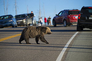 Grizzly bear (Ursus arctos horribilis) crossing road, causing traffic jam. Tourists observing in background. Yellowstone National Park, Wyoming, USA. October 2015.  -  Jeff Vanuga