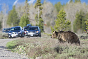 Grizzly bear (Ursus arctos horribilis) trying to cross road with tourists looking on from vehicles, Grand Teton National Park, Wyoming, USA. May 2016.  -  Jeff Vanuga