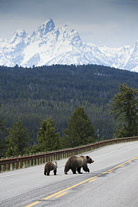 Grizzly bear (Ursus arctos horribilis) female with cub walking down Highway 26-287 with Grand Teton in background. Togwotee Pass, Bridger-Teton National Forest, Wyoming, USA. May 2017.  -  Jeff Vanuga