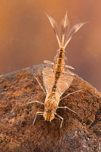 Summer mayfly nymph (Siphlonurus lacustris), underwater, Europe, June, controlled conditions - Jan  Hamrsky