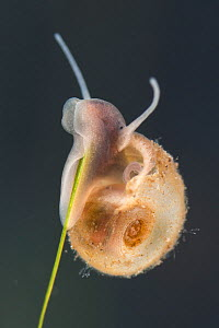 Great ramshorn snail (Planorbarius corneus) juvenil, onstem of aquatic plant, Europe, June, controlled conditions  -  Jan  Hamrsky