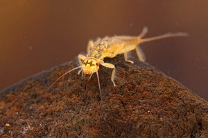 Stonefly nymph (Isoperla sp.), underwater, Europe, June, controlled conditions  -  Jan  Hamrsky