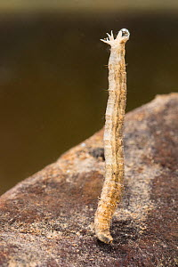 Crane fly larva (Tipula sp.), Europe, November, controlled conditions - Jan  Hamrsky