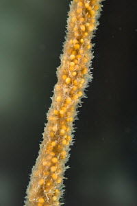 Freshwater sponge (Spongilla lacustris), with visible gemules, gemules are used in the asexual reproduction of sponges, Europe, November, controlled conditions  -  Jan  Hamrsky