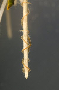 Aquatic oligochaete worms (Ophidonais serpentina), among the roots of aqatic plants, Europe, December, controlled conditions  -  Jan  Hamrsky