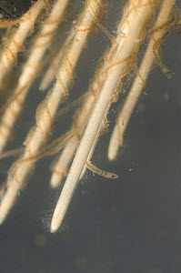 Aquatic oligochaete worms (Ophidonais serpentina), among the roots of aquatic plants, Europe, December, controlled conditions  -  Jan  Hamrsky