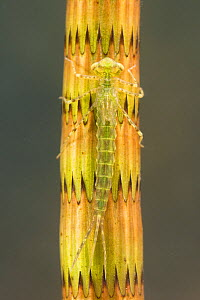 Narrow-winged damselfly nymph (Ischnura elegans), camouflaged on a stem of horsetail plant, June, Europe, controlled conditions  -  Jan  Hamrsky